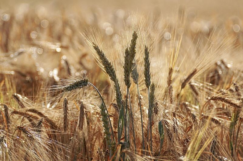 Las exportaciones de trigo a Brasil alcanzaron el mayor volumen de los últimos 12 años